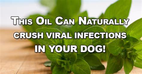 oregano for dogs of oregano nature s antibiotic