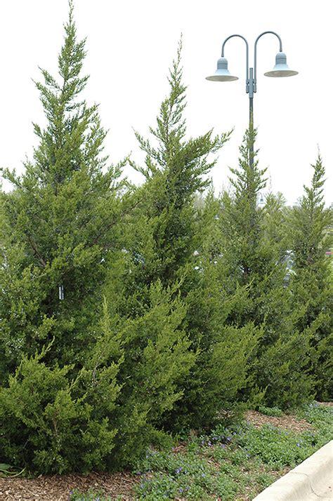 fairview juniper juniperus chinensis fairview