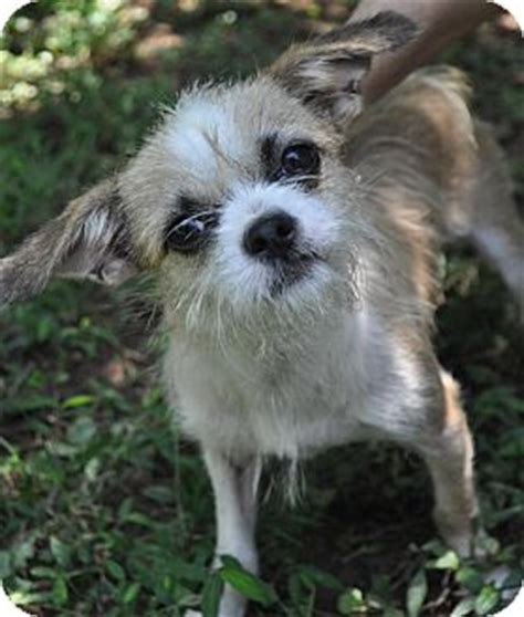 fox terrier and shih tzu mix atlanta ga shih tzu wirehaired fox terrier mix meet max a for adoption