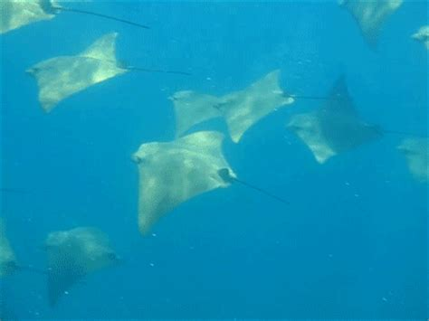 Gif Animals Science Sharks Biology Marine Biology Behavior - myliobatiformes gifs find share on giphy