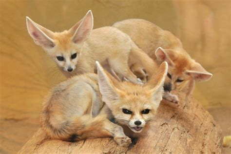 fennec fox facts and pictures images all wildlife photographs