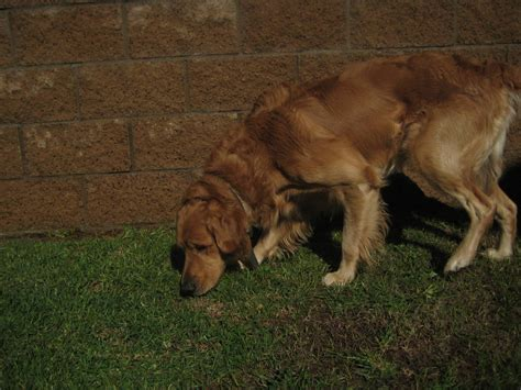 golden retriever puppies information golden retriever breed information puppies pictures