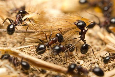 black ants ants