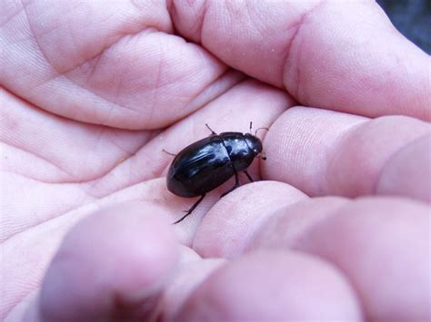 scarafaggi neri in casa pestforum esemplare di scarafaggio aiuto per