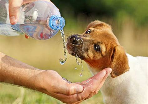 puppy water intake how much water should a puppy drink pets world