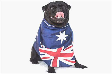 pug flag australia day traditions the pet safety edition my pet warehouse