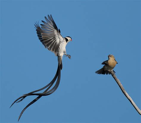 pin tailed whydah displaying in front of an apparently
