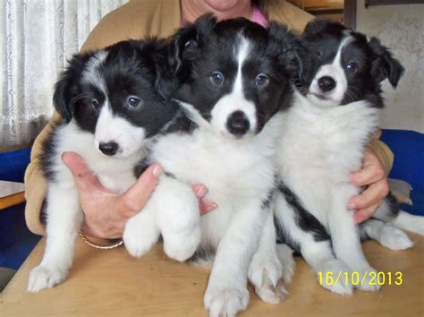 puppies for shollie puppies for sale march cambridgeshire pets4homes