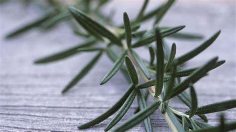 cura rosmarino in vaso rosmarino coltivazione aromatiche rosmarino coltivazione