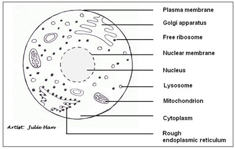 liver cell diagram exles of fuel cells exles free engine image for