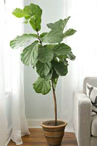 Fiddle Leaf Fig by How To Keep A Fiddle Leaf Fig Alive And Happy