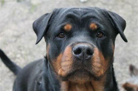 how to a to bring you something how to teach your rottweiler to bring you something by order rottweiler
