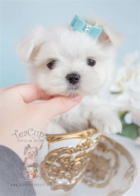maltese puppy for sale teacup quot yorkie quot terrier puppies for sale teacups puppies boutique