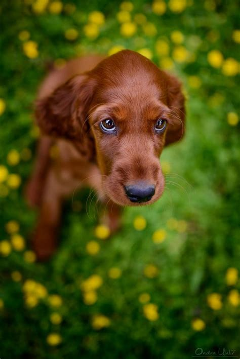 small setter dogs 265 best images about irish setter frolics on pinterest