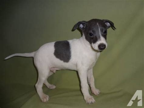 greyhound puppy for sale akc registered italian greyhound puppy for sale for sale in rolla missouri classified