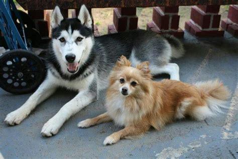 pomeranian x husky puppy siberian husky pomeranian summer dogs my babies pomeranians