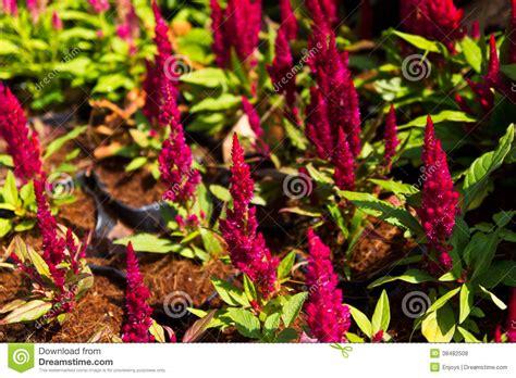 creste di gallo fiore fiori della cresta di gallo fotografia stock immagine