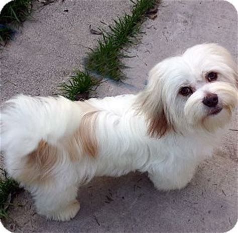 lhasa apso puppies for adoption los angeles ca lhasa apso meet galahad a for adoption