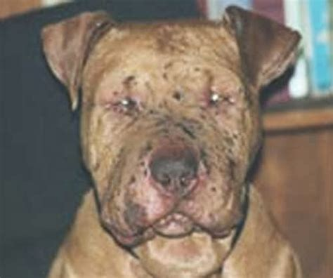 tick fever in dogs rmsf on emaze