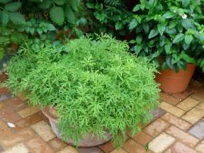 growing mosquito plant citronella in a pot with