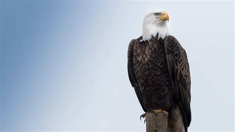 Bald Eagle, The Symbol of Valor, Strength, and Freedom ...