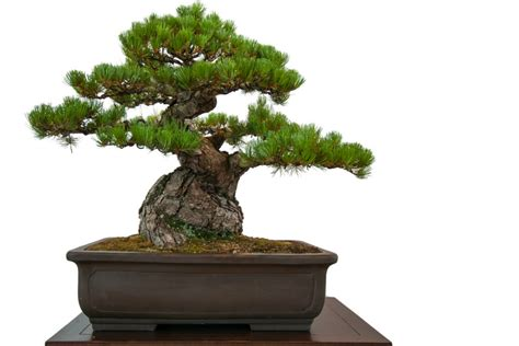 bonsai the beginner s guide to cultivate grow shape and show your bonsai includes history styles of bonsai types of bonsai trees trimming wiring repotting and watering books japanese black pine bonsai how to grow a japanese black