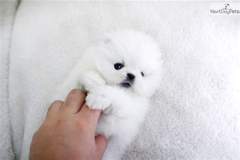 puppy boutique near me pomeranian puppy for sale near seoul korea b49ddd22 4411