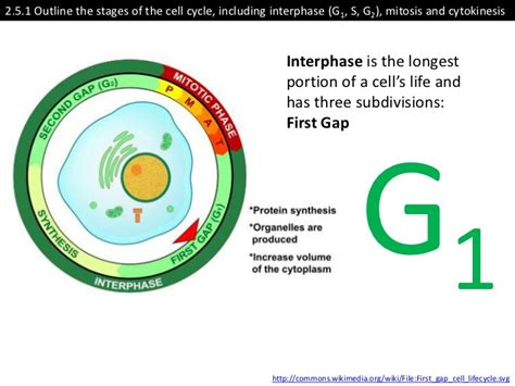 interphase g1 diagram interphase g1 gallery