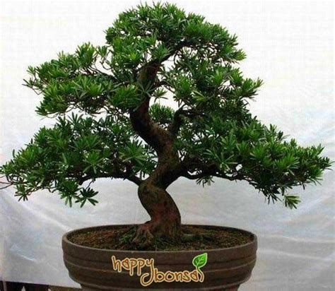 bonzi tree bonsai trees tree species commonly used for bonsai trees