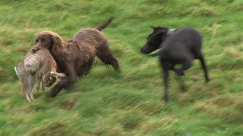 rabbit dogs ferreting rabbits with every we ve got