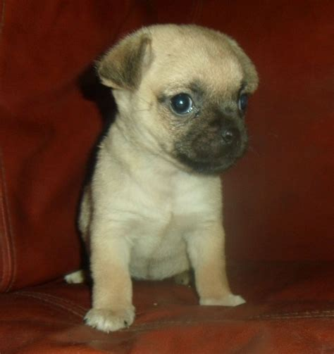 pug jug beautiful jug pug x puppies boston