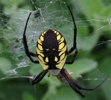 Garden Spider Family Name Yellow Garden Spider