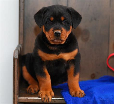 rottweiler puppies for sale craigslist rottweiler on pets craigslist in mississippi dogs in our photo