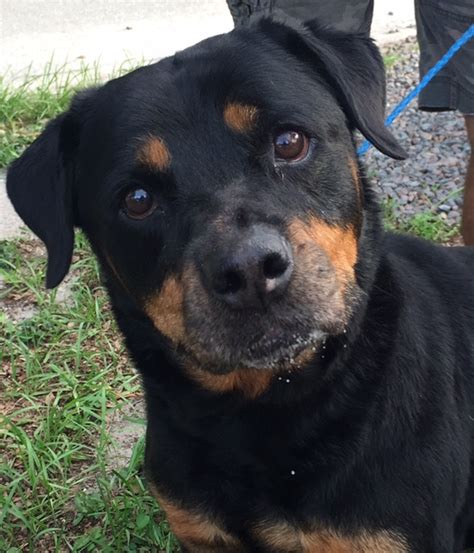 rottweiler adoption rottweiler rescue florida breeds picture