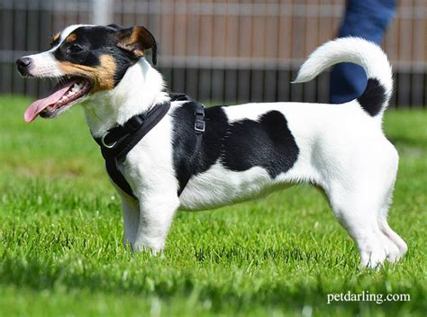 perros de pelo corto razas y fotos
