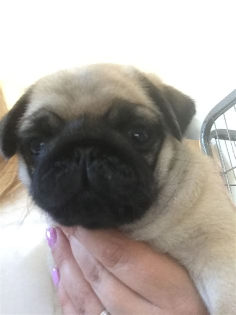 pug litter stunning litter of pug puppies milton keynes buckinghamshire pets4homes