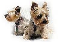 yorkie teeth cleaning cost sjvh senior dogs