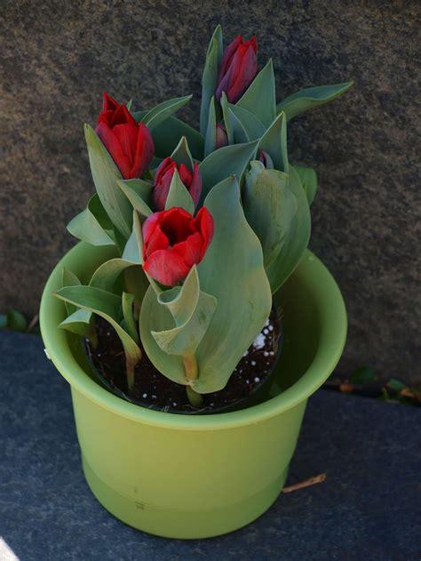 Tulpen Einpflanzen by Tulpen Pflanzen Tulpenzwiebeln Im Eigenen Garten Anbauen