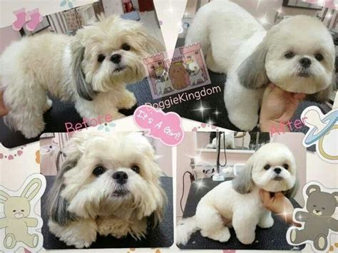 teddy cut on shih tzu teddy cut doggies