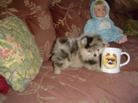 pomeranian michigan pomeranian teacup puppies for sale in michigan breeds picture
