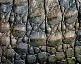 the need for alligator skin learning how to lead