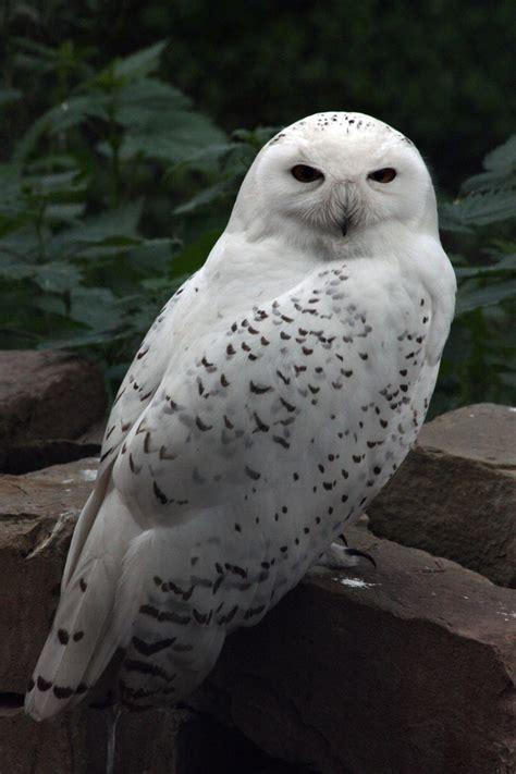 Snow Owl Papercraft By Elfbiter On Deviantart - snowy owl i by owletstock on deviantart