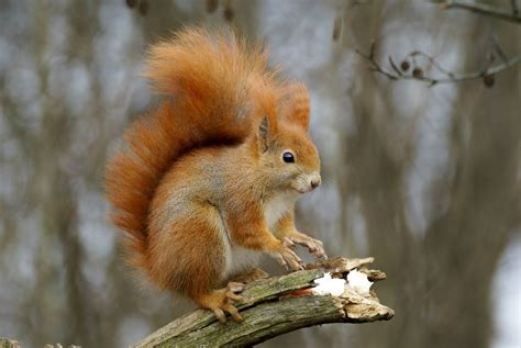 scogliattolo volante lo scoiattolo