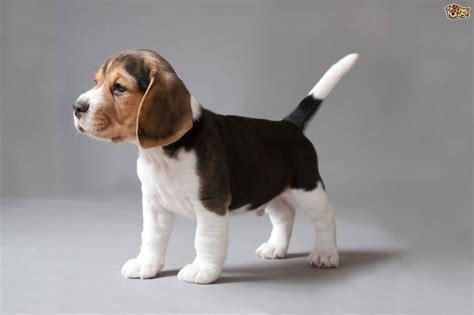 miniature beagle puppies 60 cutest beagle puppies breed gallery segerios segerios