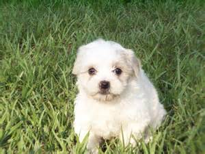 puppies for sale in florida lhasa apso puppies dogs for sale in jacksonville