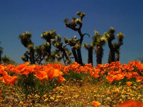 california desert flowers mojave desert pictures peer defends blm landscape