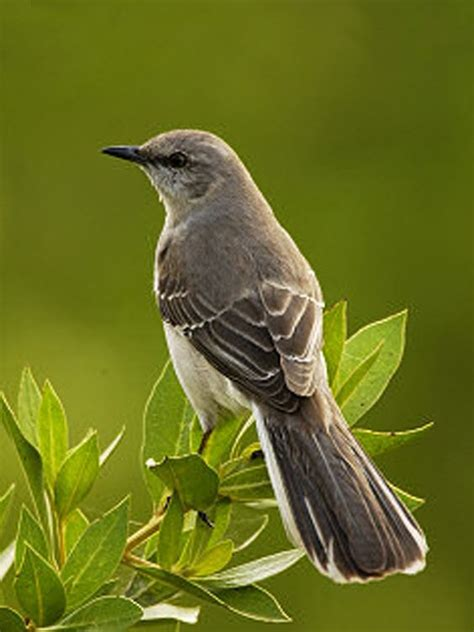 state bird of texas mockingbird birds and nests
