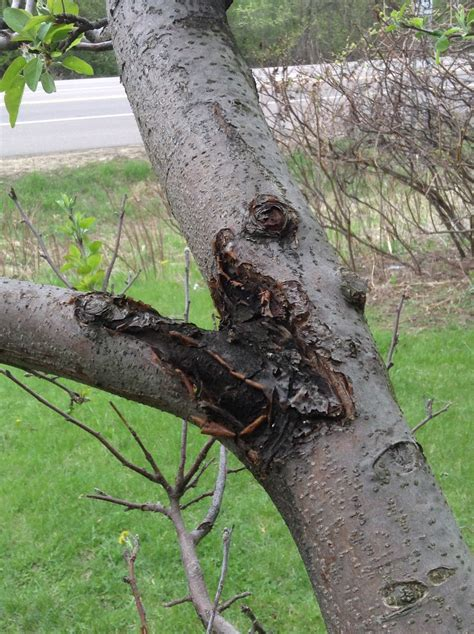 tree original apple tree disease or pest ask an expert