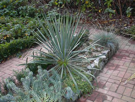garten yucca umpflanzen euphorbia myrsinites