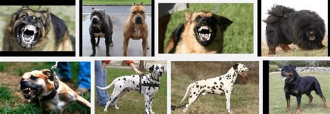 top 10 most dangerous dogs top ten most dangerous dogs breeds picture